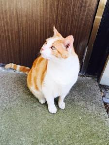 江ノ島(猫)
